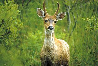 Sitka deer subspecies of deer