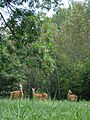 Odocoileus virginianus, Adult Female and Fawns 04.jpg