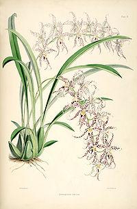 Odontoglossum naevium - pl. 9 - Bateman, Monogr.Odont
