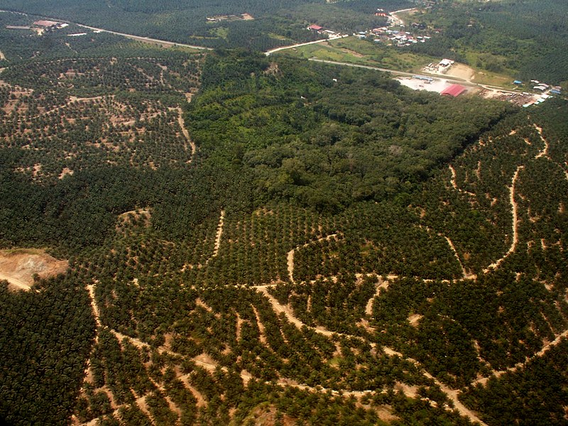 File:Oil palm and rainforest fragment Borneo.JPG