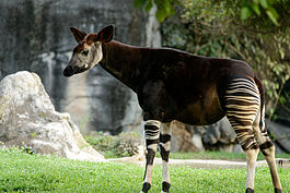 Okapi in florida.jpg