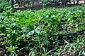 Okra plant.jpg