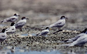 Little tern - Little tern (centre) in Olango Island Group, Philippines