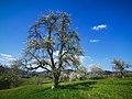Old Apple Trees.jpg