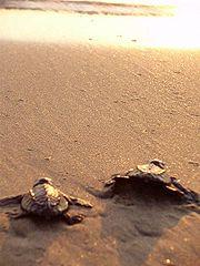 Tartarughe Olive Ridley sulla spiaggia
