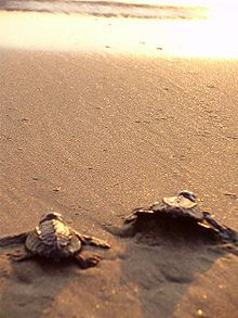 Photo of two small turtles crawling on beach