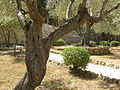 Olive trees in the traditional garden of Gethsemane (6409527407).jpg