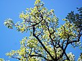 Ombu leafs.jpg
