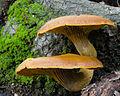 Omphalotus olivascens - Western Jack O'Lantern Mushroom (16050179656).jpg