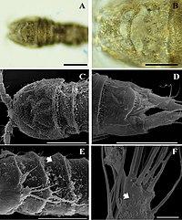 Onychocamptus satunensis (10.3897-zookeys.810.29253) Figure 8.jpg