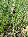 Ophrys holoserica sl3.jpg
