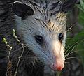 Opossum at Lake Woodruff - Flickr - Andrea Westmoreland.jpg