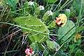 Opuntia ficus-indica flower, Rupani (1).jpg