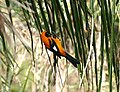 Orange-backed Troupial (Icterus croconotus) catching a cricket ... (31781845626).jpg
