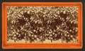 Orange tree, loaded with fruit, flowers, and buds, from Robert N. Dennis collection of stereoscopic views 3.png