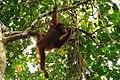 Orangutan - Sepilok Sanctuary Center - Sabah - Borneo - Malaysia - panoramio - diego cue.jpg