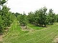 Orchard At Burmarsh - geograph.org.uk - 1370130.jpg