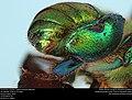 Orchid bee (Apidae, Euglossa hansoni (Moure)) (36732680401).jpg