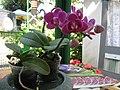 Orchidea - panoramio.jpg
