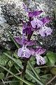 Orchis anatolica, Crete 02(js).jpg