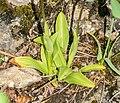 Orchis simia in Lozere (1).jpg