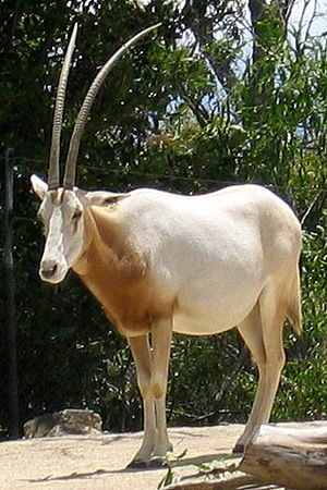 Scimitar oryx - Adult at Taronga Zoo