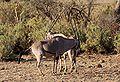 Oryx samburu 2.jpg