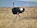 Ostrich Struthio camelus Tanzania 3739 Nevit.jpg