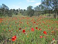 Otranto Poppies - panoramio.jpg