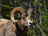 The Bighorn Sheep is Alberta's provincial animal