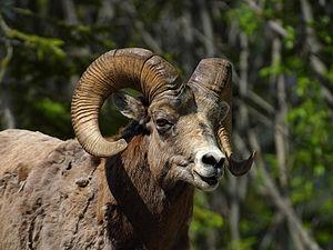 Ovis - Bighorn sheep
