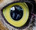 Owl eye detail, from- Eye-wildlife (24242561661) (cropped).jpg