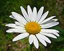 Ox-Eye Daisy (1054042599)