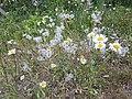 Ox eye daisy pappus.jpg