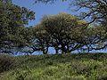 P20140310-0070—Quercus douglasii—Old Briones Road (13205269463).jpg