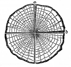 PSM V02 D605 Cross section of dried lumber 1.jpg