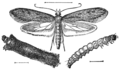 PSM V76 D224 Clothes moth and its stages of development.png