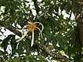 Pachira aquatica (inflorescense).jpg