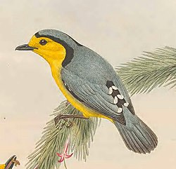 Pachycare flavogrisea - The Birds of New Guinea (cropped).jpg