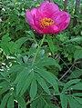 Paeonia officinalis 4 RF.jpg