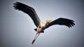 Painted stork.png