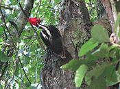 Pale-billed woodpecker, Costa Rica.jpg