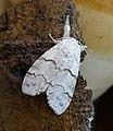 Pale Tussock female. Calliteara pudibunda (31885402524).jpg