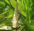 Paletka (Symphysodon aequifasciatus).jpg