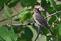 Palm Warbler (33512753563).jpg