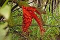 Palma Iraca (Carludovica palmata) - Flickr - Alejandro Bayer.jpg