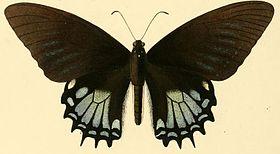 Papilio garamas1.JPG