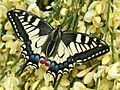 Papilio machaon - eclosion A - 07 - ready to take flight.jpg