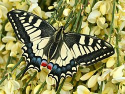 金鳳蝶Papilio machaon