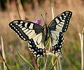 Papilio machaon 170808.jpg